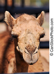 Camels are able to withstand changes in body temperature and...