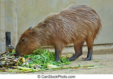 Capybara - The capybara is the largest rodent in the world,...