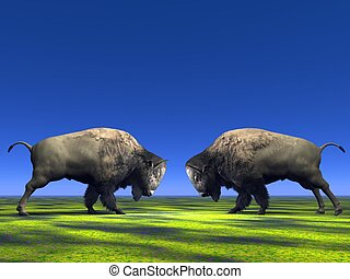 bisons - Two bisons which fight