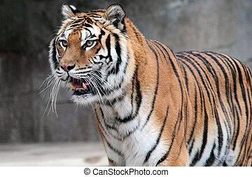 Siberian tiger Panthera tigris altaica standing - A Siberian...