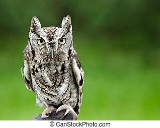 Eastern Screech Owl - Portrait of Eastern Screech Owl...