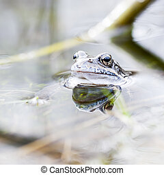 Frog in water - Small grass frog in water near a plant straw