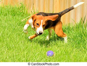 Beagle chasing a rubber ball outside in a park.