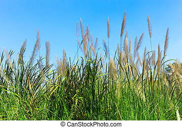 Grass flower with blue sky