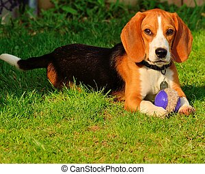 Beagle Closeup - Beagle outside in a park with a rubber...