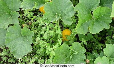 pumpkin vegetable weed - pumpkins vegetable fruit and leaves...