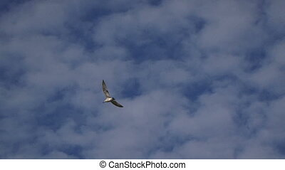 Seagulls in the sky - Seagulls flying in the sky on a sunny...