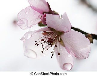 Almond flower in the rain - Almond flower after a springtime...