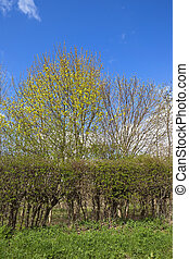 springtime hedgerow - a springtime hedgerow in Yorkshire...