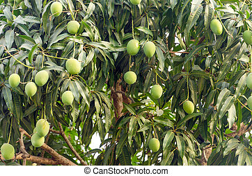 Mango Tree Closeup - Closeup view of a mango tree with...