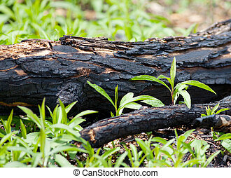 Forest Fire - Downed burned tree as a result of a forest...