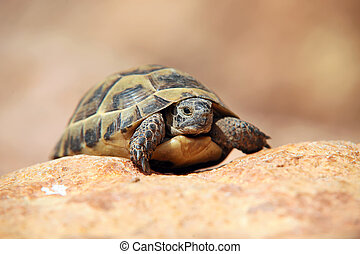 Crawling tortoise on the blurred background
