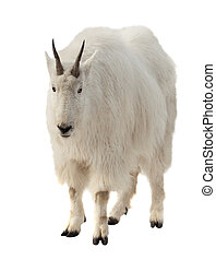 Rocky mountain goat over white background - Rocky mountain...
