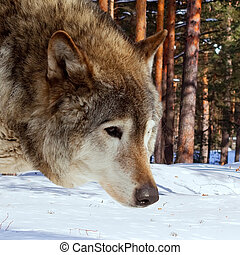 wolf in winter forest - wolf in winter pine forest