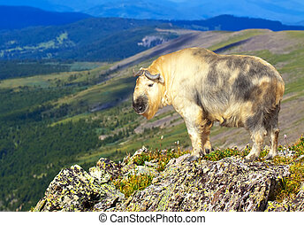 Takin in wildness area - Takin Budorcas taxicolor in...