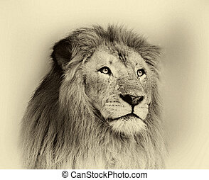 Sepia Toned Striking Lion Face Portrait - Sepia Toned Black...