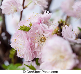 Almond pink flowers - Beautiful almond pink flowers outdoor....