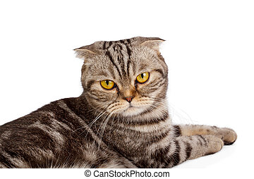 Scottish-fold cat isolated on white background