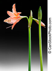 Coral star lily (Hippeastrum sp., Family: Amaryllidaceae)