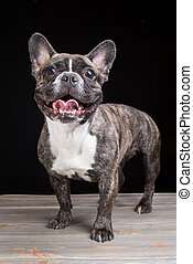 smiling French bulldog of tiger color on black