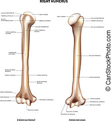 Humerus- upper arm bone. Detailed medical illustration from...