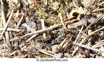 European red wood ant Formica rufa