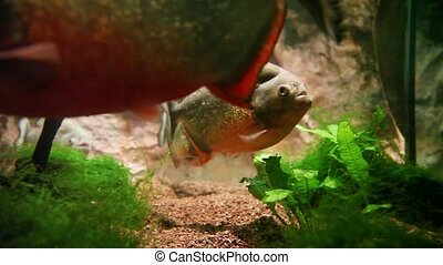 Piranha swimming around in a fish tank