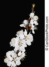 Flowering apricot tree branch against a black background