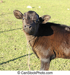 Small brown leather calf on a farm