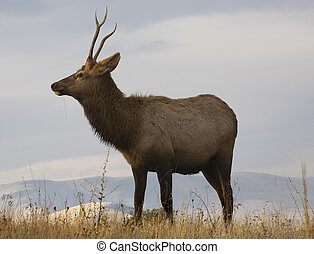 Young Male Elk With Grass National Bison Range Charlo Montana