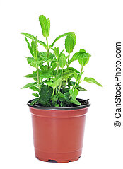 mint plant - a mint plant in a flower pot on a white...
