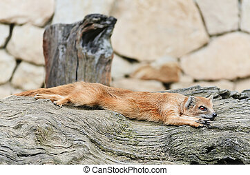 Mongoose - Common Mongoose Is Resting On The Tree