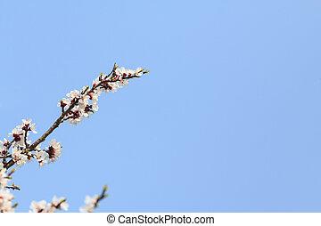 Apricot blossom branch - An apricot blossom branch on blue...