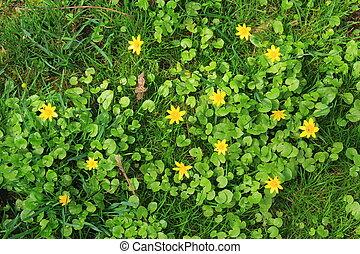 Lesser celandine - Blooming lesser celandine Ficaria verna,...