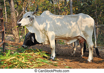 American Brahman - The American Brahman breed has a distinct...