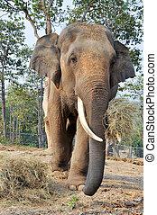 asiático, elefante