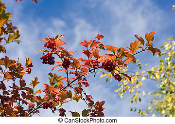 branch with colorful leaves and red fruits against the sky