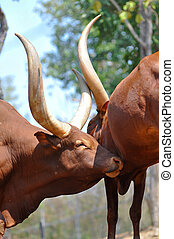 Ankole-Watusi - The Ankole-Watusi is living in the savannas...