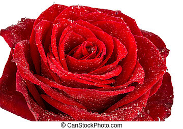 red rose sign of love - a red rose against white background...