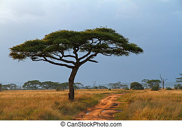Lone Acacia Tree and Dirt Road - A lone Acacia tree with a...
