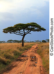 Acacia tree and long dirt road - A single acacia tree along...