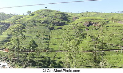 Tea plantation in Nuwara Eliya,Ceylon
