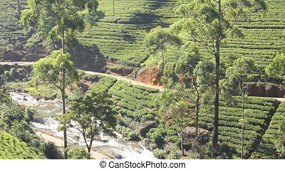 Tea plantation in Nuwara Eliya,Ceylon.
