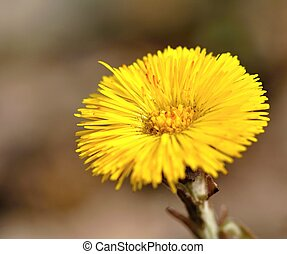 Coltsfoot - Small beautiful coltsfoot flower with blurry...