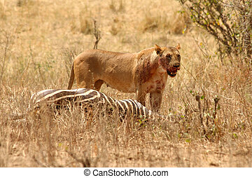 Bloody Lioness stands over Zebra kill - A bloody lioness...