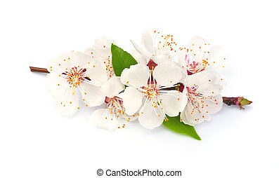 White flowers isolated. Spring flowers
