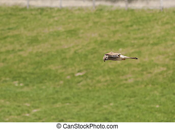 kestrel flying on forays