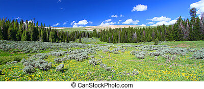 Bighorn National Forest Panoramic - Wildflowers grow in a...