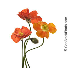 Poppy Flowers Isolated on White Background.