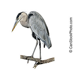 Great Blue Heron Perching On White Background